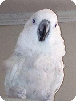 Cockatoo for adoption in St. Louis, Missouri - Cracker