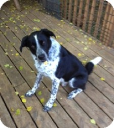 Border Collie/Great Pyrenees Mix Dog for adoption in Minneapolis, Minnesota - Duncan