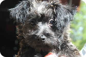 Poodle (Miniature)/Jack Russell Terrier Mix Puppy for adoption in Denver, Colorado - Jasper