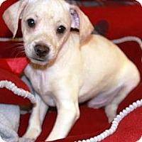 Adopt A Pet :: Footloose - Gilbert, AZ