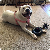 American Staffordshire Terrier Mix Dog for adoption in Kewanee, Illinois - Hope