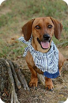 Dachshund Mix Dog for adoption in Muldrow, Oklahoma - Scoobie