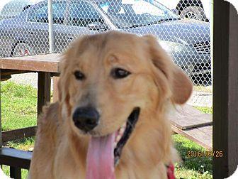 Golden Retriever Dog for adoption in Freeport, New York - Bruno G
