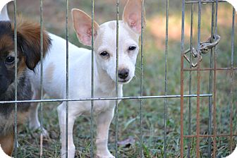 Chihuahua Mix Puppy for adoption in Wilminton, Delaware - Kensey