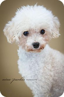 Poodle (Miniature) Dog for adoption in Atlanta, Georgia - Florence