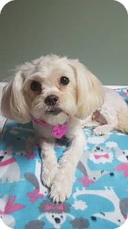 Maltese Mix Dog for adoption in Troy, Michigan - Maddy