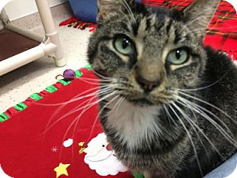 Domestic Shorthair Cat for adoption in Janesville, Wisconsin - Wynonna