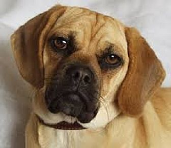 Pug/Beagle Mix Dog for adoption in Long Beach, California - Cash