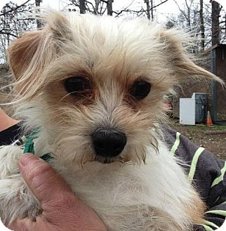 Maltese/Chihuahua Mix Dog for adoption in Hagerstown, Maryland - Buddy 1