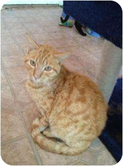 Domestic Mediumhair Cat for adoption in Mobile, Alabama - Jack