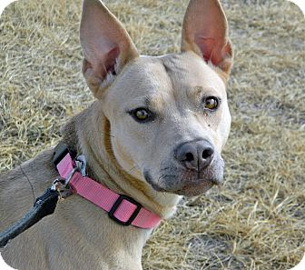 Pit Bull Terrier/Shepherd (Unknown Type) Mix Dog for adoption in Cheyenne, Wyoming - Sassy