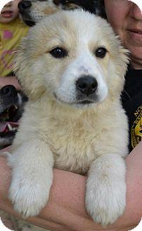 Golden retriever adoption ct