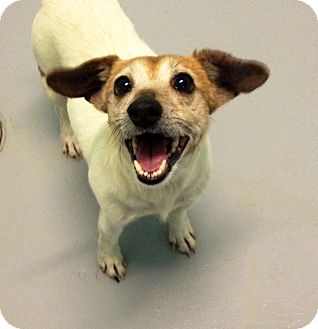 Jack Russell Terrier Dog for adoption in Muskegon, Michigan - Aurora