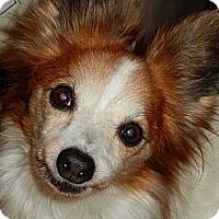 Adopt A Pet :: Molly - Plainview, NY