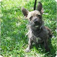 Adopt A Pet :: Cody - Arlington, TX