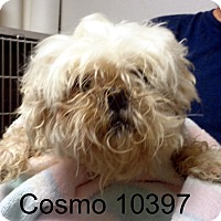 Adopt A Pet :: Cosmo - Greencastle, NC