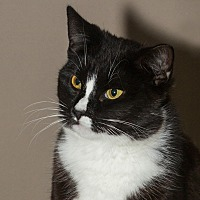 Domestic Shorthair Cat for adoption in Elmwood Park, New Jersey - Francis