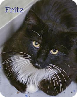 Domestic Longhair Cat for adoption in West Des Moines, Iowa - Fritz