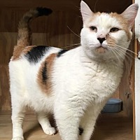 Calico Cat for adoption in Los Angeles, California - Gizmo