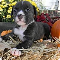 Adopt A Pet :: Nessie - Millersville, MD