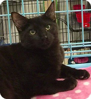 Domestic Mediumhair Kitten for adoption in Mansfield, Texas - Little Foot