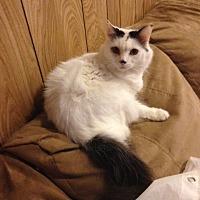 Persian Cat for adoption in Baton Rouge, Louisiana - Pretty Boy