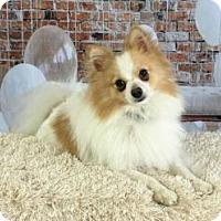 Adopt A Pet :: Gizmo 2017 - Dallas, TX