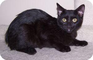 Domestic Shorthair Kitten for adoption in Colorado Springs, Colorado - K-Tucker2-Eva