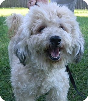 Cockapoo Dog for adoption in Jacksonville, Florida - Lucky