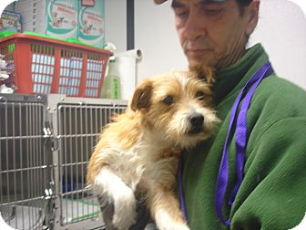 Parson Russell Terrier/Terrier (Unknown Type, Small) Mix Dog for adoption in Greencastle, North Carolina - Reuben