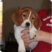 Adopt A Pet :: Sweetie Pie - Phoenix, AZ