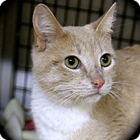 Adopt A Pet :: Sheba - Weimar, CA