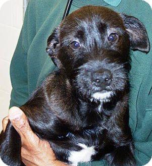 Scottie, Scottish Terrier Mix Puppy for adoption in McDonough, Georgia - Jett