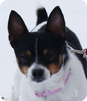 Rat Terrier Mix Dog for adoption in Dundee, Michigan - Boo