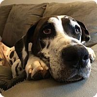 Adopt A Pet :: Hershey - Manassas, VA