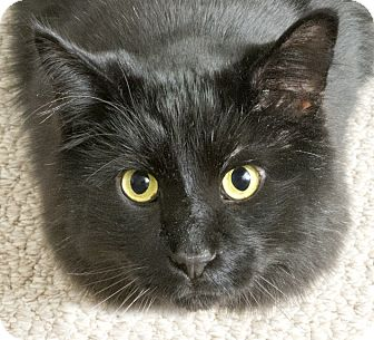 Maine Coon Cat for adoption in Chicago, Illinois - MeowMeow