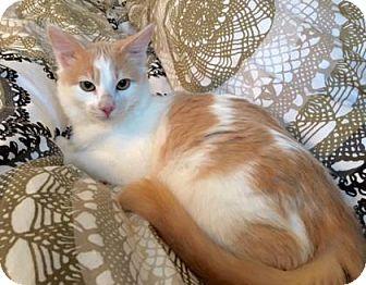 Domestic Shorthair Cat for adoption in Bellevue, Washington - Darian