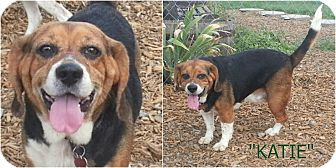 Beagle Dog for adoption in Findlay, Ohio - KATIE