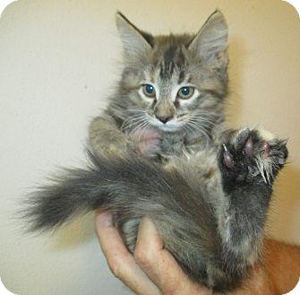Domestic Mediumhair Kitten for adoption in New Smyrna Beach, Florida - Mushu