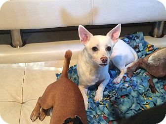 Chihuahua/American Eskimo Dog Mix Puppy for adoption in Oakland, Florida - Chico