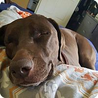 Adopt A Pet :: Barley - Las Vegas, NV