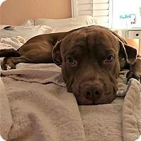 Adopt A Pet :: Hawk - Ft. Lauderdale, FL
