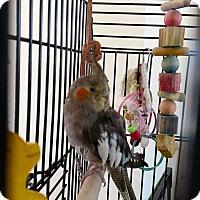 Adopt A Pet :: Dori - Aurora, IL