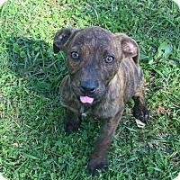 Adopt A Pet :: Carol Ann - Trenton, NJ