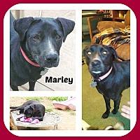 Adopt A Pet :: MARLEY - Malvern, AR