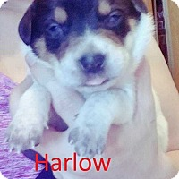 Adopt A Pet :: Jerrica Pup - Harlow - Clear Lake, IA