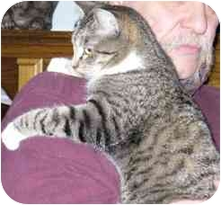 Domestic Shorthair Cat for adoption in Fayette, Missouri - Sparky