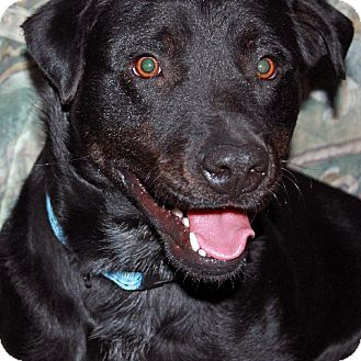 Labrador Retriever Mix Dog for adoption in Scottsdale, Arizona - Brody (courtesy)