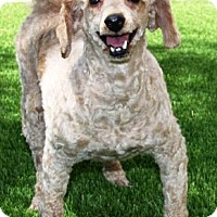 Adopt A Pet :: Lutie Anne - Gilbert, AZ