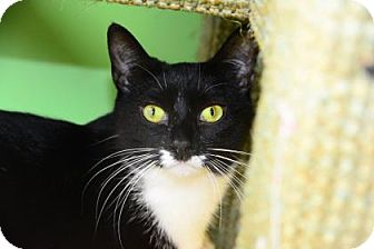 Domestic Shorthair Cat for adoption in Suwanee, Georgia - Tuxie